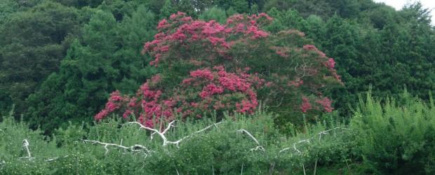推定樹齢200年、市の指定天然記念物に指定されている『中村のさるすべり』が色づきはじめました。 撮影日はあいにくの曇り空でしたが、お天気の日には周りの山々の緑色の中に、一層美しく映し出されます。 これからさらに真っ赤に染...