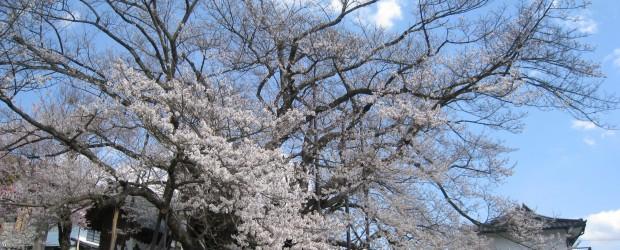 このお休みの芋井地区の冷え込みは、雪が舞うほどで、桜も心配されましたが、順調に開花しているようです。概ね7から8分咲きといった ところでしょうか。  見学に訪れる皆さんも増えてきましたので、交通には十分ご注意ください。