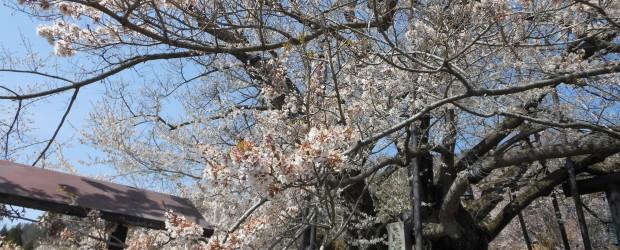神代桜はただ今見ごろを迎えました!  昨年より1週間程度早い春の訪れです!