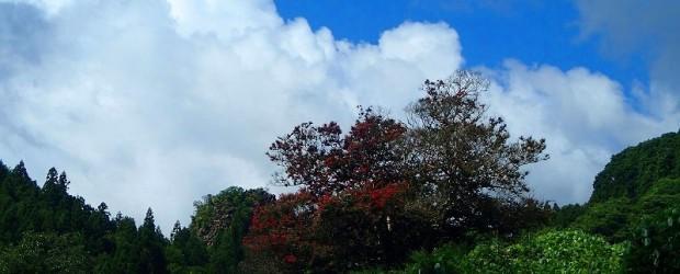 推定樹齢200年、市の指定天然記念物『中村のさるすべり』が今年も色づき始めました。  今年は、例年よりも若干時期が早いようです。咲き方も暑さのせいか、一部咲いていないところもありますが  澄み切った青空にさるすべりの赤い...