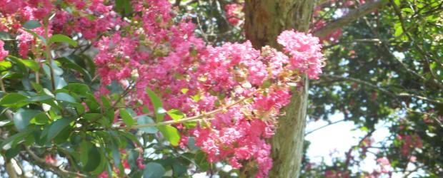 推定樹齢200年、市の指定天然記念物『中村のさるすべり』が今年も色づき始めました。  今年は、例年よりも若干時期が早いようです。  周辺に萌える緑に、赤々とした花が引き立って、とても美しく咲いています。  下の枝もだい...