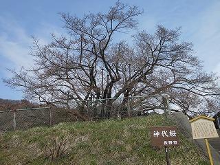 いよいよ桜前線も北上してまいりました。  神代桜のつぼみもふくらみ始めました。 でもまだ朝の気温が低いので 花が開くのはもう少し先になりそうです。 去年は4月25日頃が見ごろでした。   これから満開まで、HPで情報をの...