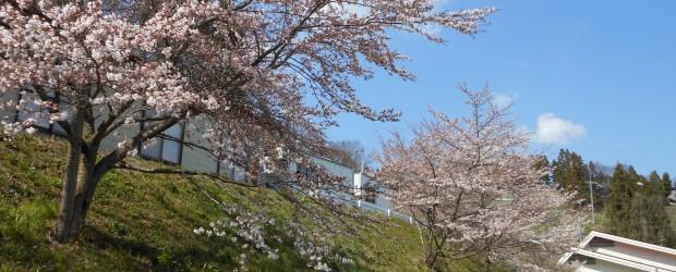 芋井公民館の前の桜並木も、まもなく満開となりますが、残念ながら、公共工事のため今年で撤去されることとなっています。  この桜並木は、15年くらい前に芋井の皆さんによって植えられ、毎年わたしたちの目を楽しませてくれました...