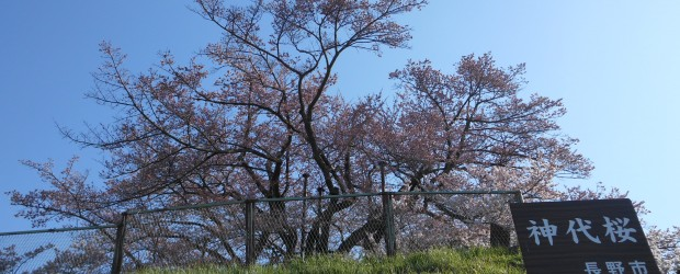 桜の木の下の方はだいぶ開花しました。  芋井地区は暖かい日が続いており、一日一日開花が進んでいます。  満開まであとわずかですね!  下の方はほぼ開花しました。  上の方もあとわずかです!