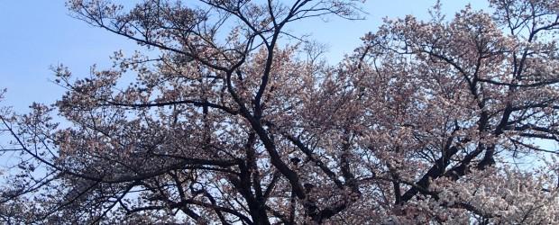 2014年度も様々な出来事がありました。 そこで、1年の芋井の出来事・行事を振り返ってみました。 4月 今年が最後の桜並木  芋井公民館前の桜並木が、公共工事のため今年度限りで撤去されることとなり...