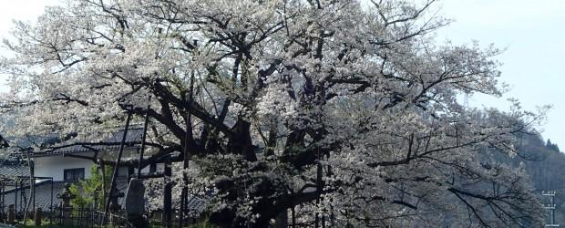 今朝は、お天気も良く桜もほぼ満開でした! 今週末がちょうど見ごろです。