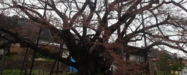 暖かい日が続くかと思っていましたが、このところ少し寒い日がありました。 17日(金)の朝の様子です。 神代桜も満開になるにはもう少しかかりそうです。 来週もUPしますのでご覧ください。   &nb...
