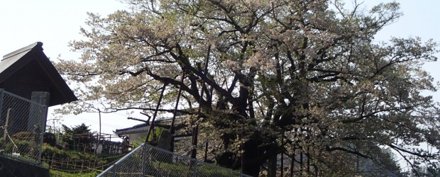 今年も素晴らしい花を咲かせてくれた神代桜もそろそろ葉桜になってきました。 今年は例年より1週間ほど早くゴールデンウィーク前に満開になりました。 来年もまた立派な桜を咲かせてくれるように、大切に守っていけたらと思います。 ...