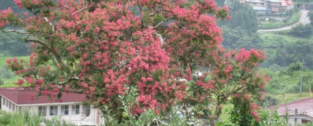 市の天然記念物に指定されている「中村のさるすべり」ですが、 昨年は残念ながら花が咲かず、市の文化財課や樹木医に依頼し、地元の保存会の皆さんと共同で枝の剪定や追肥を施しました。  その結果、ことしは見事に真っ赤...