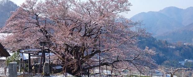 今朝もまさかの雪が桜の上に積もりました。 でも昨日よりおひさまが出ていたのですぐに消えると思います。 写真で撮るとまるで桜が咲いているように見えますが、まだ枝先の花がちょこっと咲き始めたところです。 でも今朝は早い時間か...