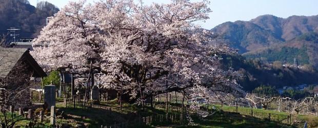今朝の神代桜です。 ほぼ満開、9分咲きです。 今年も見事な姿をみせてくれました。 例年よりかなり早く咲きました。 今週末がちょうど見ごろだと思います。