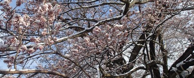 今朝はまさかの雪!!  神代桜の枝にも白い雪が積もり、まるで花が咲いたかのようになりました。  近くで見ると今にも咲きそうです。 もしかしたら昨日は咲いていたのかもしれません。 まだまだ日中と朝方の気温の差が...