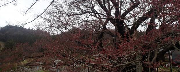今朝の様子です。 だ全体的にいぶ赤くなってきていました。 来週、開花宣言ができるかもしれません(^^)/。 階段をのぼってすぐのところで咲く花は、毎年一足早く咲きます。日当たりが良いのでしょうか。  &nbs...