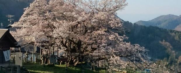 いよいよ満開に近づきました!! 土曜日はまだかな~・・と、思っていましたが、今朝見ると・・8分咲き!! 今年もきれいに咲きました。