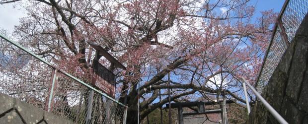 ぐんぐんと気温が上がり、枝先の部分の桜がほころび始めました。  まだ、開花宣言!とはなりませんが、週末にはちょうど良い感じになるかと思います。 満開まではあともう少しお待ちください。 &nbsp...