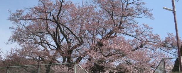開花宣言します!! が、まだ満開とはいきませんが、だいぶ咲き始めました。 週末も天気が良ければさらに開き、満開になるかも・・・・・・。