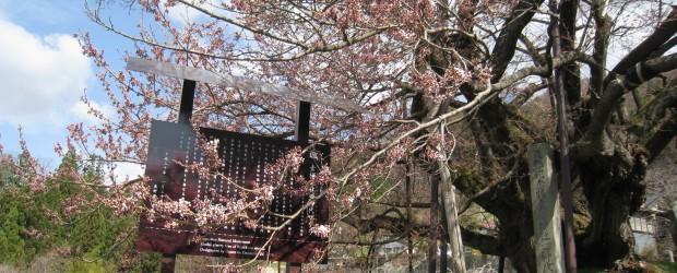 今日はとても暖かいのですが、風がとても強いです!!・・・週末少し荒れそうです。 神代桜は・・・1分咲き位です。 来週中には良い感じに咲くのでは??と、地元の方の予想です。 次の更新は週明け月曜日になります。