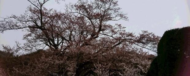 先週末の朝、まさかの雪が降りました!!が、すぐにとけました^^。 気温も平年並みに戻り、桜の開花の進み方がゆっくりとなっています。 本日、2分~3分咲きです。