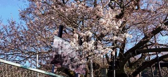 今朝の様子です。 下の方から見ると、いい感じで咲いていますが、全体的にはまだ3分咲き位です。 次回は金曜日の更新です。