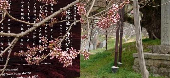 今年は例年と比べると、かなり気温が高いので開花時期も早まりそうです!! 毎年だいたい4月下旬から5月にかけて満開を迎えますが、 今年はぐんぐんと気温が上がり、今日現在、枝先の部分の桜がほころび始めました。 このままいくと...