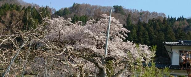 本日、満開です。 上の方まで見事に咲きました。 今年も素晴らしい姿をみせてくれました。 神代桜は芋井の宝としてこれからも守っていきたいと思います。
