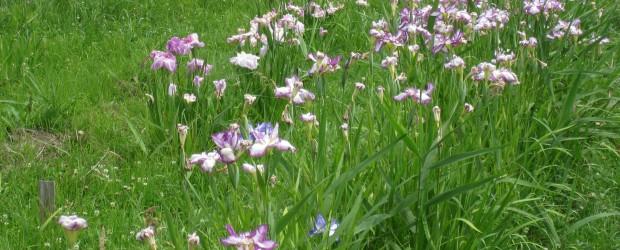 ふるさと再生プロジェクトで植えた「花菖蒲」が、今年も見ごろを迎えました。 色や柄の違ったたくさんの種類の花が、次々と咲いています。 初夏のひと時、「花菖蒲」をみて涼むのも良いですね!!  場所は、軍足区の伊勢...