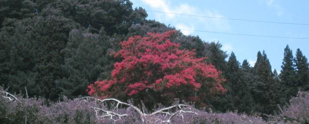 今年の中村のさるすべり(市の天然記念物です)が見事に満開となりました!!ちょうど見ごろです!! 以前花が咲かなくなった年がありましたが、樹木医さんに診てもらったり、その後地元の保存会の皆様に追肥等をしっかりやっていただき...