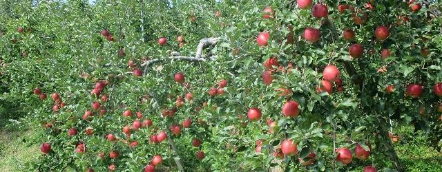 味で勝負!!芋井産りんご      ふじ祭り開催!! 美味しいふじりんごの時期となりました。 毎年恒例のJAながのふじ祭りが開催されます。 日時  12月1日(...