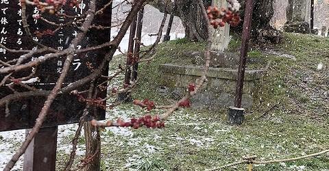 昨日からの雪で開花が遅れるのでは・・・と思いながら桜を見に行きました。 今朝も雪が降っていました・・・が! 花のつぼみが赤くなっていました!! この週末に少し花が開くかもしれません。 また明日、様子をUPします!! &n...