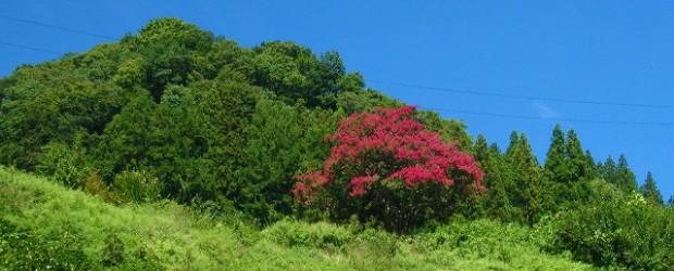 長野市の天然記念物に指定されている「中村のサルスベリ」が満開です。 今年は8月下旬になってやっと咲き始めました。 今がちょうど見頃となっています。  芋井支所のすぐそばです。 推定樹齢200年の木です。 &n...