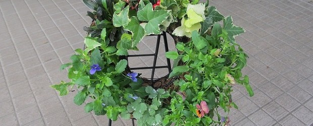 10月19日(土)秋のガーデニング講座を開催しました。 リース型のヤシの器に、チェッカーベリー・ヘデラ・アジュガ・グレコマ・ビオラ (3種)の花を寄せ植えしました。
