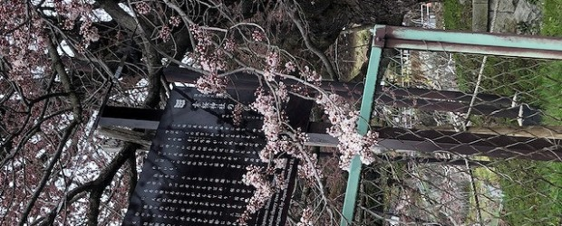 今年も桜の季節がやってきましたね・・・。でもコロナが収束せず・・・ お花見もなかなかできない世の中で、少し寂しいですね。 でも、桜は咲き始めました!! 神代桜は例年より約一週間早く花がほころび始めました。 満開になるのは...