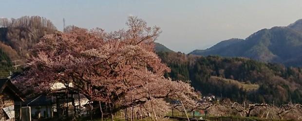 今日の神代桜です。 思ったより早く満開になりそうな感じです。 コロナの感染拡大予防のため、3密を避け、人との間隔は2メートル以上離して見るようにしてください。 飲食は禁止します。・・・なかなか難しいですね・...