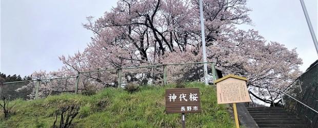 今年の神代桜は、例年よりも10日くらい早く満開となりました!! とにかくきれいですよ!!  今は、芋井地区内にある桜や菜の花などが、ちょうどいい感じに咲いています。  来年は何の制限もなく自由にお...