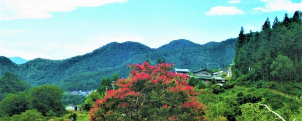 市の天然記念物に指定されている「中村のさるすべり」が満開です。 緑の風景のなか、真っ赤な色の花はほんとうによく映えます。 これからも大切にしていきたいですね。